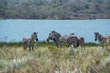 African zebras grazing in grasslands near lake outside Arusha, Tanzania, Africa