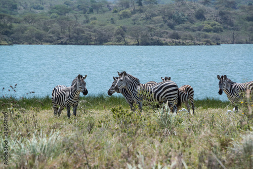 African zebras grazing in grasslands near lake outside Arusha, Tanzania, Africa - 248541900