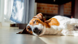 Young jack russell terrier dog sleeping on a floor - 248542328