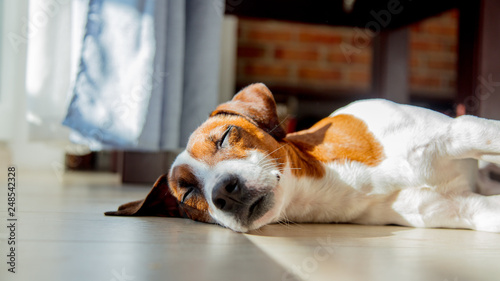 fototapeta na ścianę Young jack russell terrier dog sleeping on a floor
