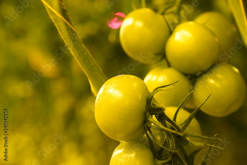 Foto Murales Tomaten kweken kwekerij serre