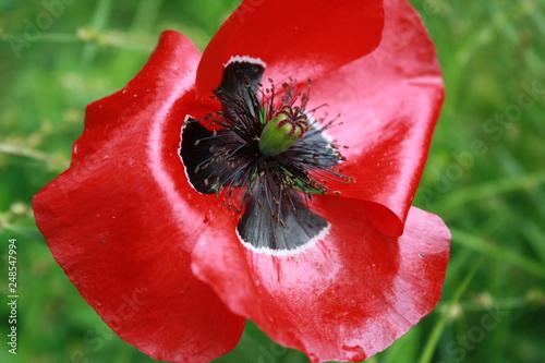 red poppy flower in the garden - 248547994
