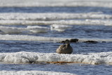 Female eider duck sitting on ice floating around in cold icy water, near Arviat, Nunavut Canada