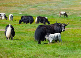 Yaks are grazed in mountains. Russia. Siberia