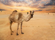 Leinwanddruck Bild - Middle eastern camels in a desert, United Arab Emirates.