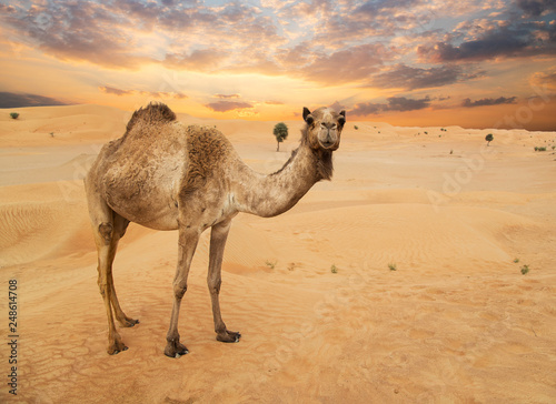 Leinwanddruck Bild Middle eastern camels in a desert, United Arab Emirates.