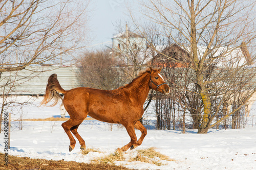 Horses walking in winter field in the village