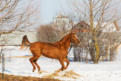 Horses walking in winter field in the village