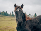 portrait of a black horse on a green meadow