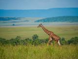 Reticulated giraffe in a Kenya