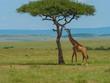 Leinwandbild Motiv Reticulated giraffe in a Kenya