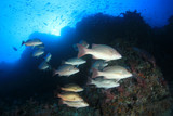 Coral reef and fish in Thailand  - 248634383