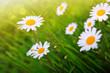 Macro Shot of white daisies in the summer garden. - 248635515