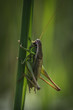 Large green grasshopper in sunlight, clinging to a straw
