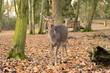 Quadro Sika Deer