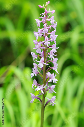 marsh fragrant orchid (Gymnadenia conopsea) in high tauern national park - 248654399