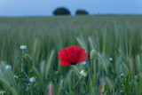 poppies in the field - 248654582