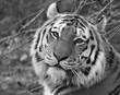 Siberian Tiger Head and Face Black and White