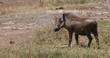 Warthog, phacochoerus aethiopicus, Adult in Savannah, Nairobi Park in Kenya, real Time 4K