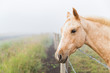 Horse looks over fence in morning fog.