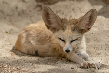 Fennec desert fox portrait © Andrea Izzotti