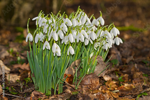 Foto Murales White flowers, Common snowdrops blooming in spring