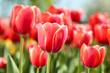 Fresh red tulip flowers in the garden