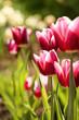 Fresh pink tulip flowers in the garden