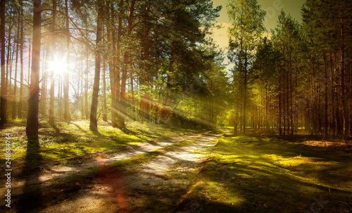 trail in the pine forest - 248684764