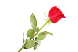 Red rose isolated on white background - 248685125