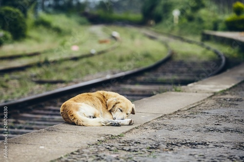 fototapeta na ścianę Loyalty dog sleeping at train station