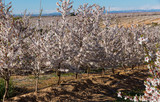 Blossoming of cherry trees on a  meadows of Europe in spring