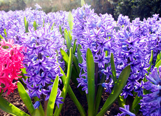 Beautiful spring flowers: delicate pink and blue hyacinths in the famous Keukenhof park in the Netherlands in early spring on a sunny day.
