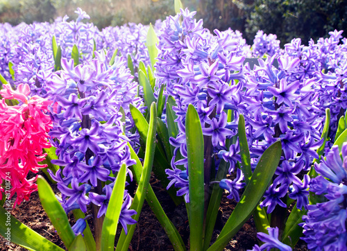 Beautiful spring flowers: delicate pink and blue hyacinths in the famous Keukenhof park in the Netherlands in early spring on a sunny day. - 248708724