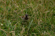 Sparrow on a field at Taylors mistake walkway in New Zealand, wildlife of New Zealand, close up photography of a Sparrow