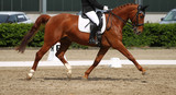 Horse dressage at trot during the limbo, photographed in the exam from the side..