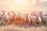 Flock of sheep at sunset - 248737387