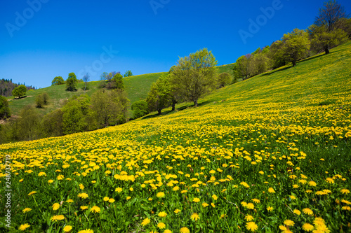 Beautiful spring landscape, dandellion field