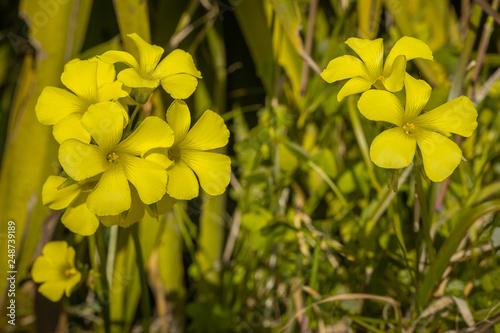 Foto Murales Macro photography of yellow perennial wall rocket flower or rucola Latin Oxalis pes-caprae