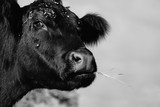 Cute black and white cow close up on rural farm for vintage country lifestyle of animal.