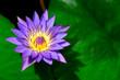 Leinwandbild Motiv Purple Beauty Water Lily