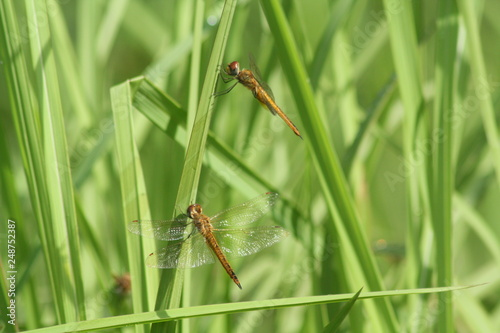 Foto Murales Libellulidae, dragonfly insects perch on a beautiful stalk