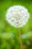 dandelion on green background - 248754301