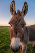 Leinwanddruck Bild - A Color Donkey Portrait at Sunset, California, USA