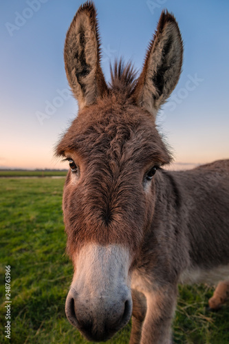 Leinwanddruck Bild A Color Donkey Portrait at Sunset, California, USA