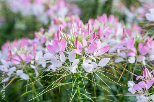 Cleome spider flower garden