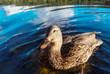 Quadro Duck