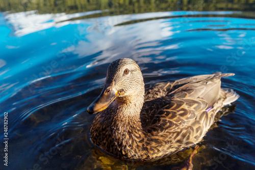 Leinwanddruck Bild Duck