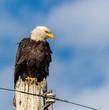 Handsome Bald Eagle