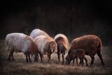 Sheep fat tail - 248798741